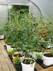 Tomatoes in recycled 10lt buckets on grow-bag trays in the west/fruit tunnel - potted flowers between  plants  attract beneficial insects