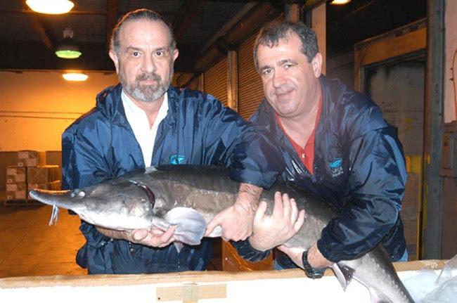 Tuy nhiên,Mark Zaslavsky mang cá tầm beluga đến Mỹ trước lệnh cấm nên trang trại này là nơi duy nhất có trụ sở ở Mỹ được phép nhân giống cá tầm beluga.