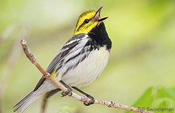 Black-throated Green Warbler by Bill Swindaman