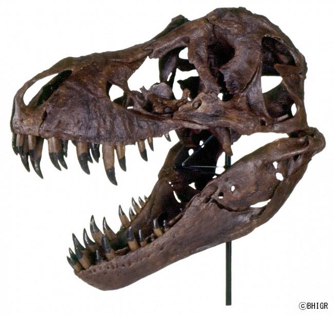 ティラノサウルス 頭骨 (C)BHIGR