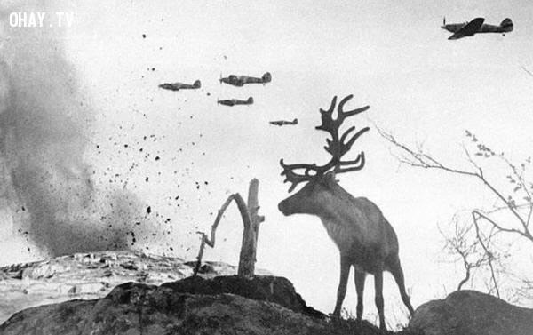 Con tuần lộc đang ngơ ngác nhìn xung quanh khi trên bầu trời nhiều chiếc máy bay đang trút bom xuống nước Nga năm 1941.,bức ảnh lịch sử,khoảnh khắc lịch sử