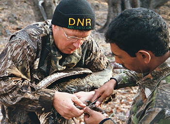 This image shows Al Stewart putting a tracking band on a wild turkey before its release into the wild.