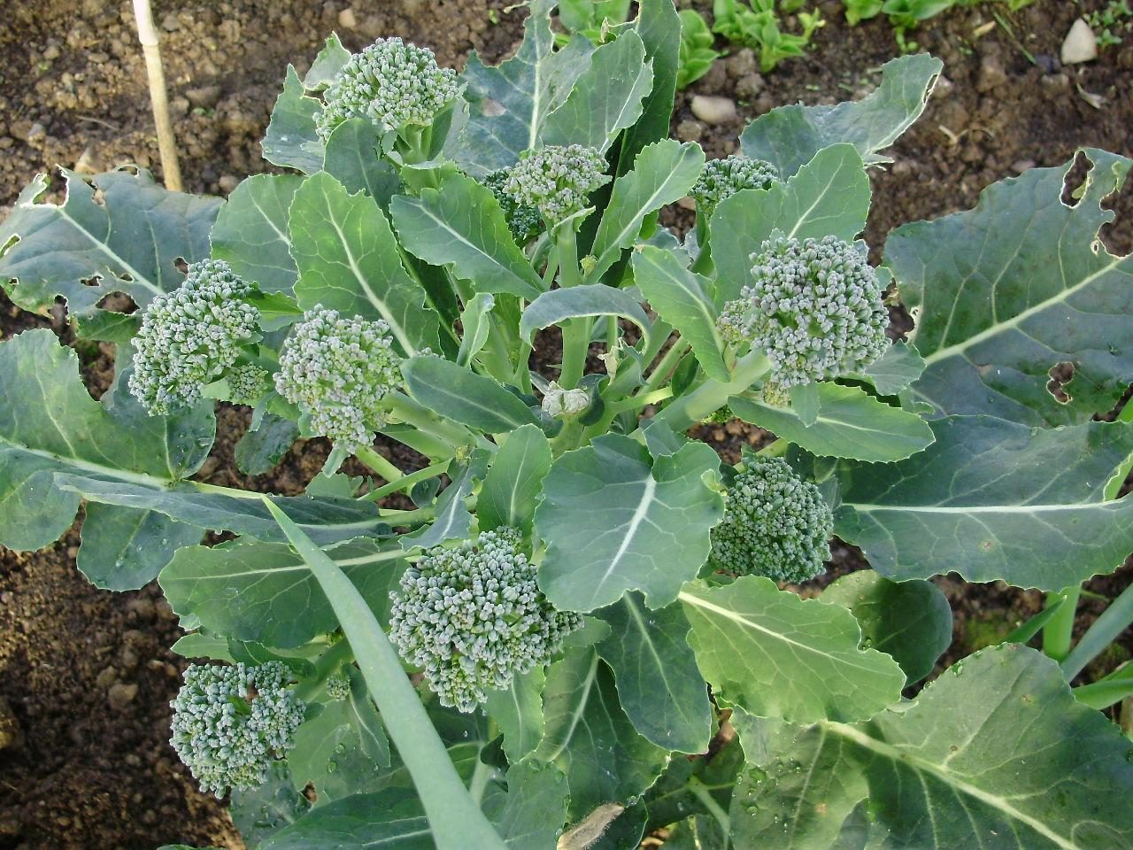 Calabrese broccoli 'Green Magic' making nice side shoots after central head cut