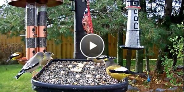 Evening Grosbeaks at the Ontario FeederWatch Cam
