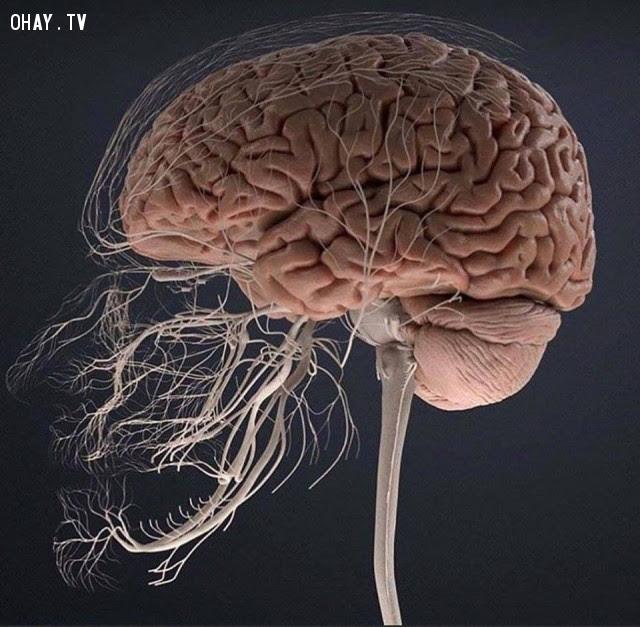 Hệ thống dây thần kinh trung ương để cảm nhận cơn đau của răng và mặt,cơ thể con người