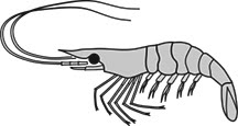 Grass shrimp