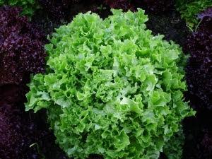 Lettuce 'Fristina'