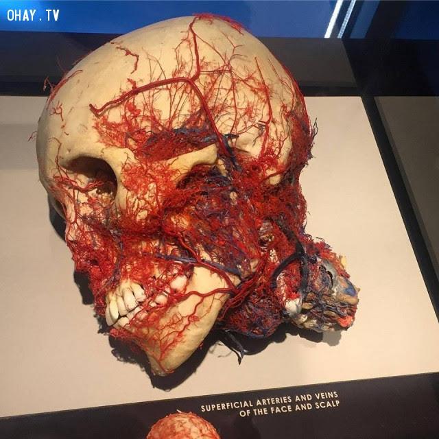 Mô hình giải phẫu làm nổi bật các động mạch và tĩnh mạch mặt và da đầu,cơ thể con người