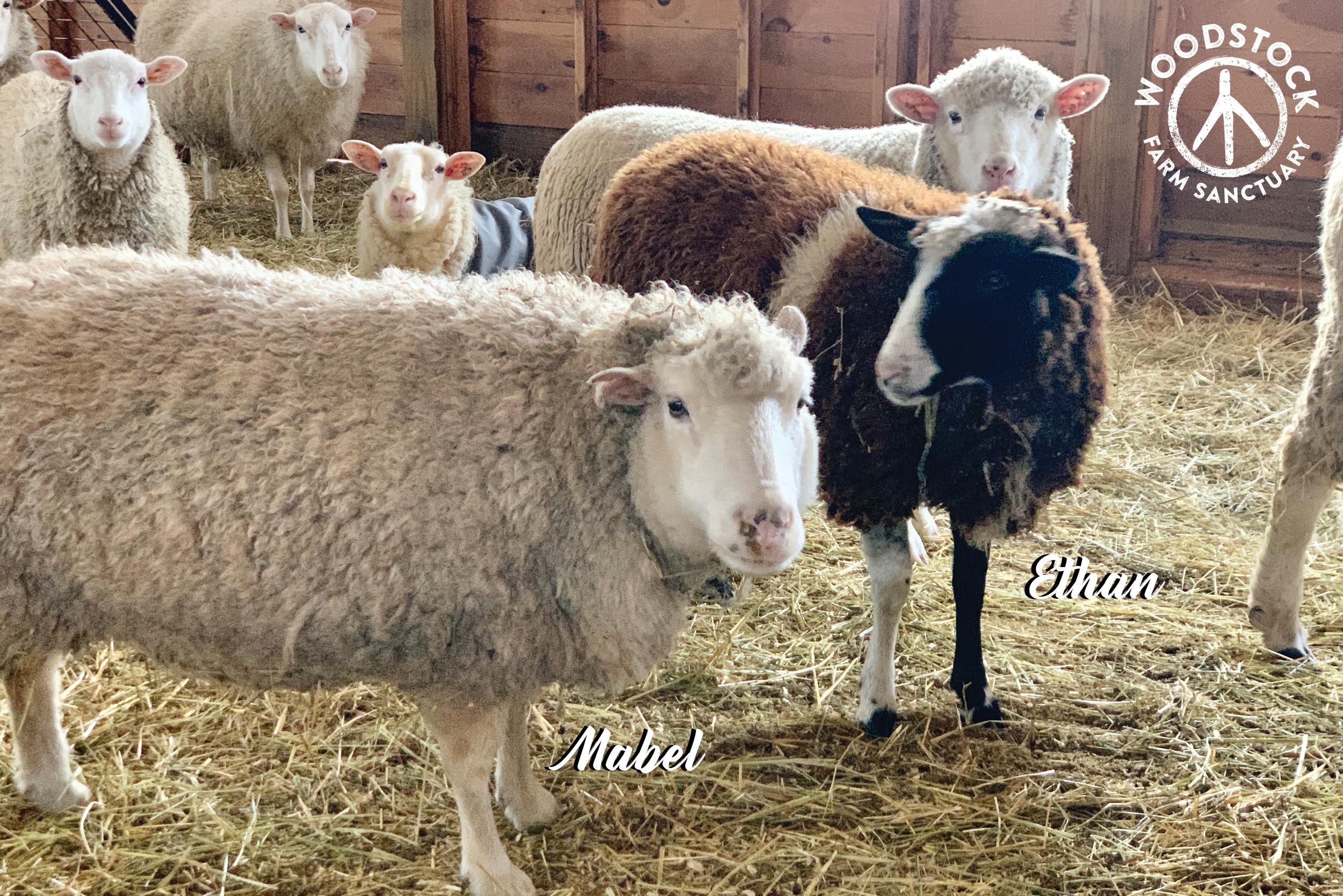 The sheep of Woodstock Farm Sanctuary
