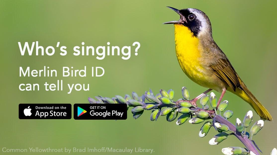 A Common Yellowthroat bird singing. Text: