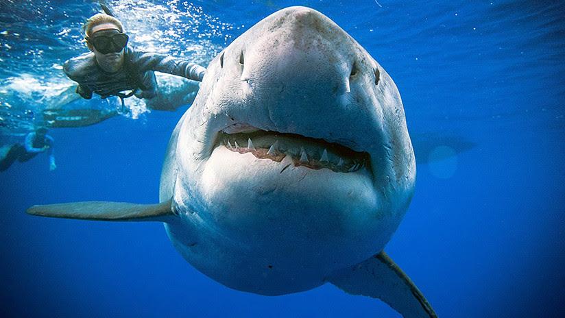 VIDEO: Salen a la luz imágenes de la extraña reaparición de un gran tiburón blanco en Hawái