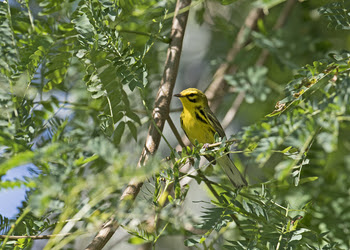 Prairie Warbler by Andy Wraithell