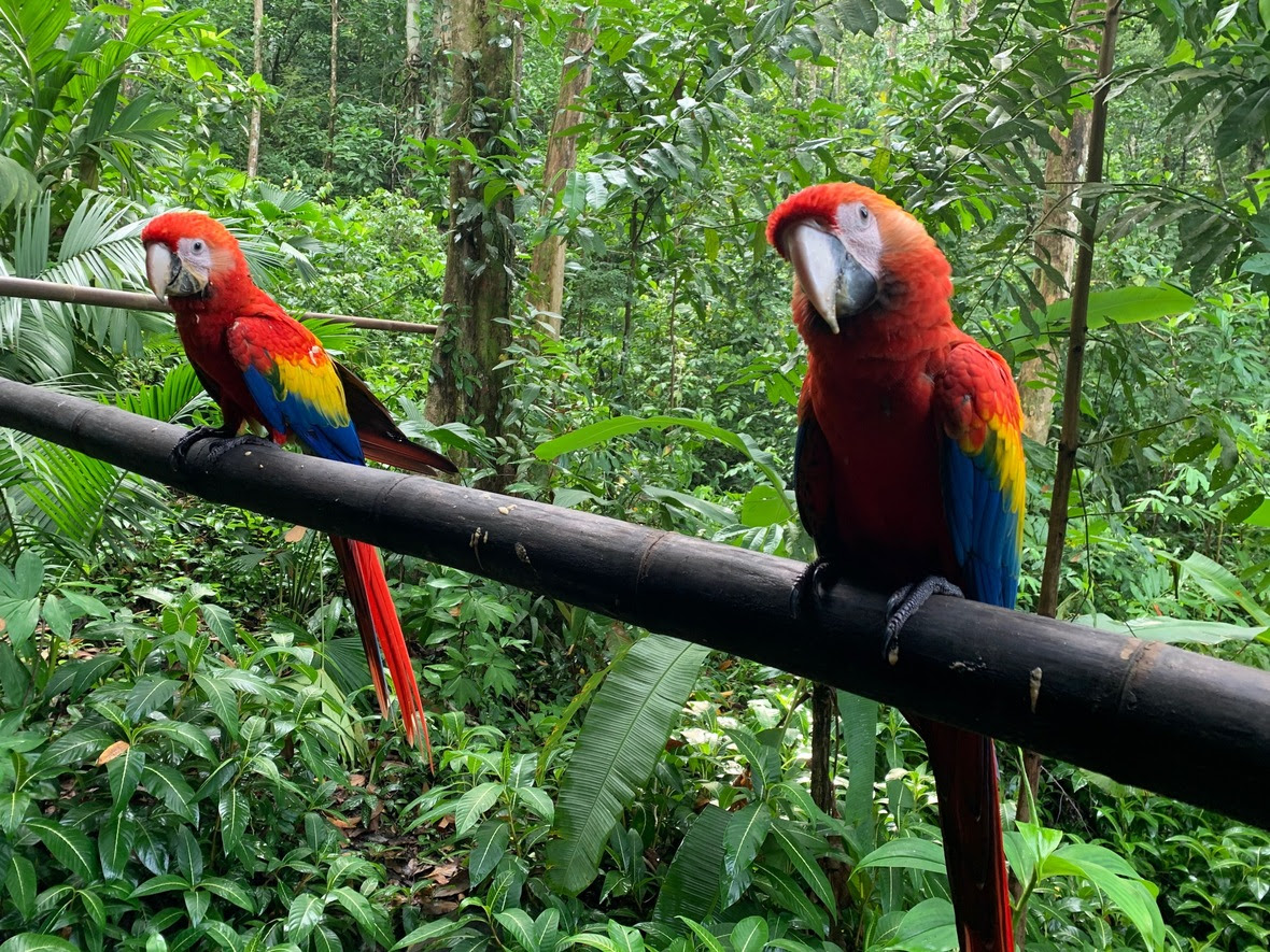 Two young macaws stand on bamboo bridge in rainforest, looking at camera