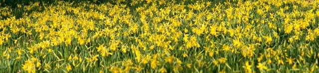Image of daffodils along the Great Broad Walk Borders