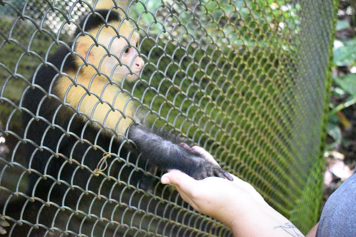 "Capuchin monkey giving caregiver ""hand"" through fencing during training"
