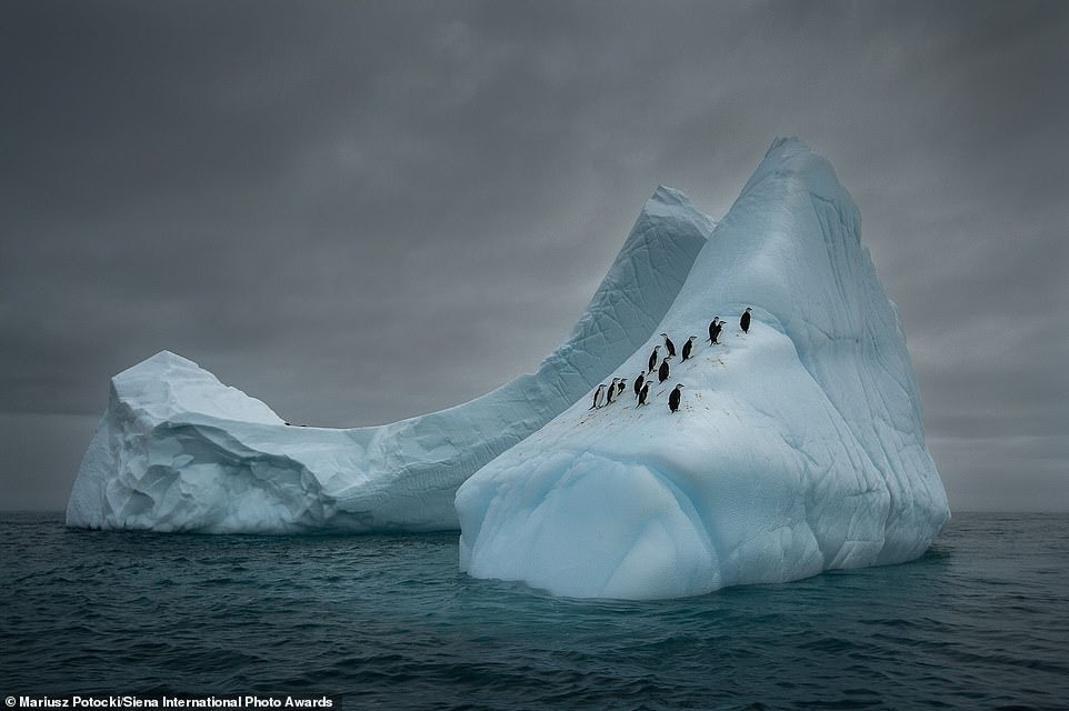 American photographer Mariusz Potocki captured this charming image of chinstrap penguins resting on an iceberg in the Bransfield Strait in Antarctica. He said: 'When sailing Antarctic waters you will often see different types of icebergs. Some of these floating islands are great resting places for hunting penguins who can travel many kilometers, before jumping back into the icy water'