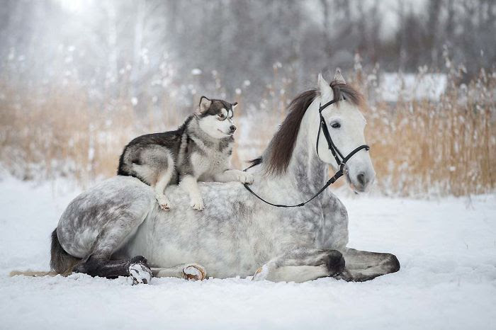 Friendship Between A Horse And Husky