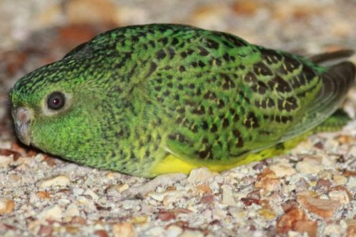 The rare night parrot on the ground