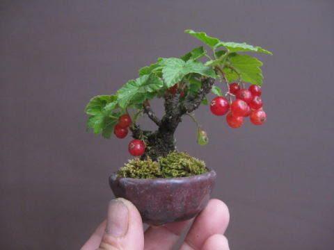 盆栽:スグリが赤く色づく|春嘉の盆栽工房: