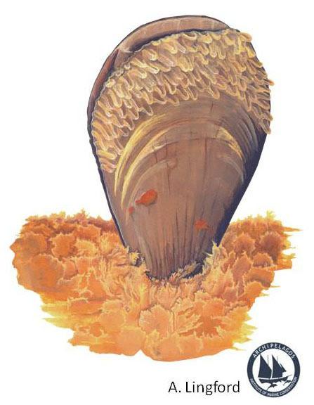 pinna illustration