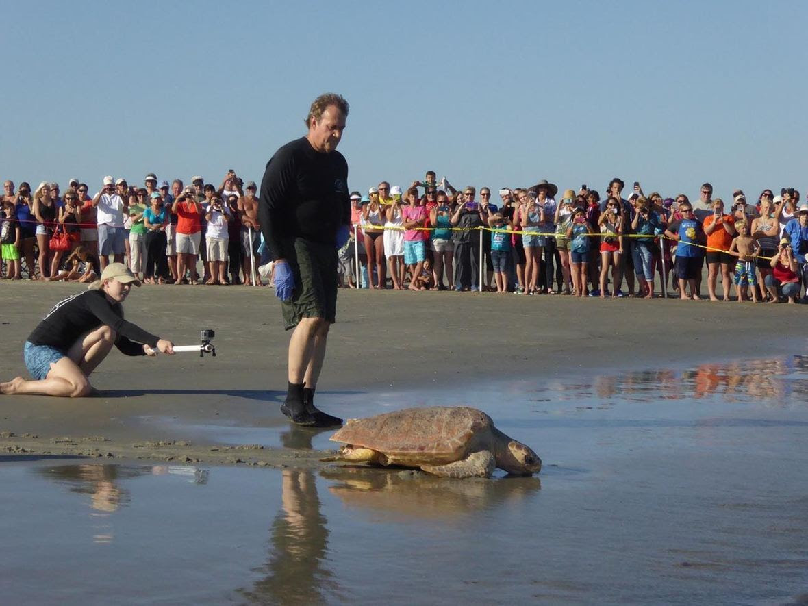 Dr. Terry Norton releasing a turtle saved by the Georgia Sea Turtle Center on Jekyll Island, GA.
