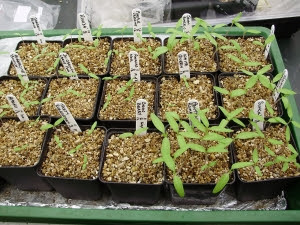 Tomato seedlings in the propagator - packed tightly together in square pots to be energy efficient