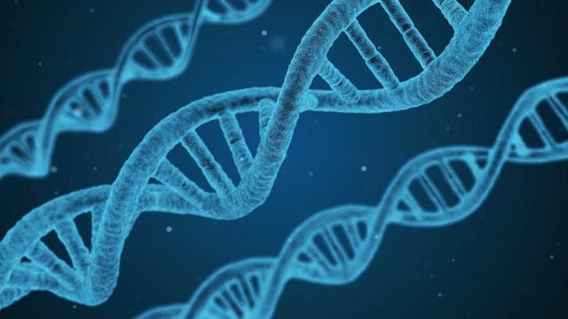 Com edição de DNA, brasileiros avançam no transplante de órgãos de porcos para humanos