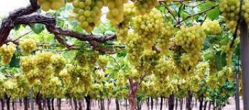 Chilena Gesex y peruana Pura Fruit concretan alianza para impulsar sus envíos de uva de mesa