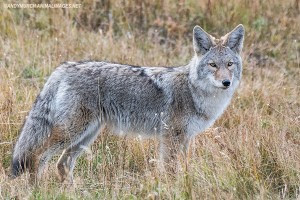 Coyote, Canis latrans. Coyote subspecies: Mountain coyote, Canis latrans lestes from Yellowstone National Park, Wyoming, USA.