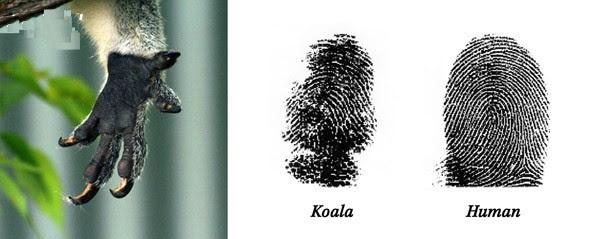 Loài gấu Koala cũng có những dấu vân tay rất giống con người.