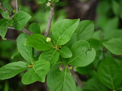Gymnosporia puberula M.A.Lawson
