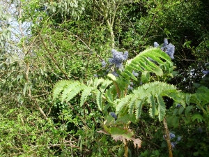 Melianthus major, Ceonothus Trewithan Blue, Eucalyptus and wild dog rose, on my 'B&B' bank.