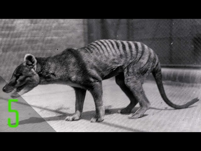 5 Rare Videos of Animals Before They Went Extinct  Sddefault