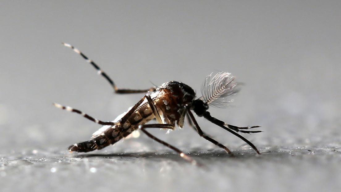 Planean liberar 750 millones de mosquitos modificados genéticamente en los Cayos de Florida
