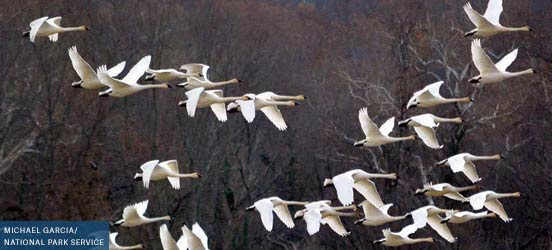 flock of white tundra swans flying among trees in piscataway park