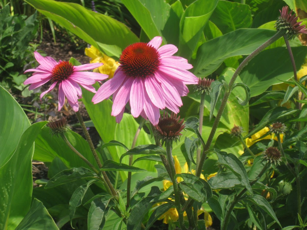 Echinacea w Rach IMG_5653