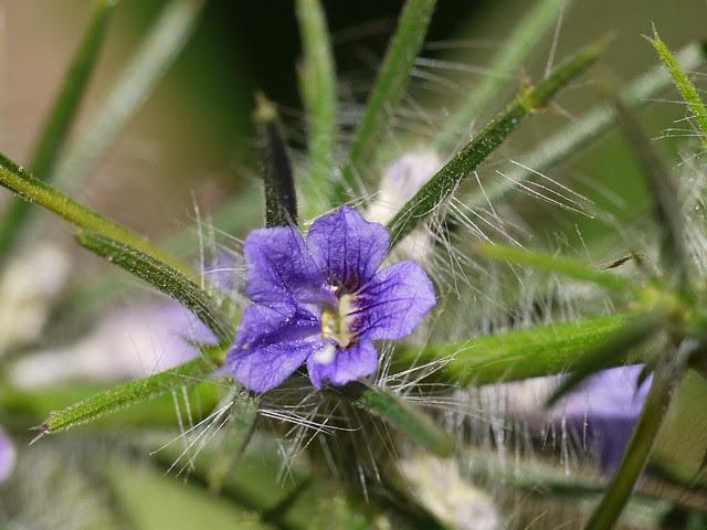Haplanthodes verticillatus