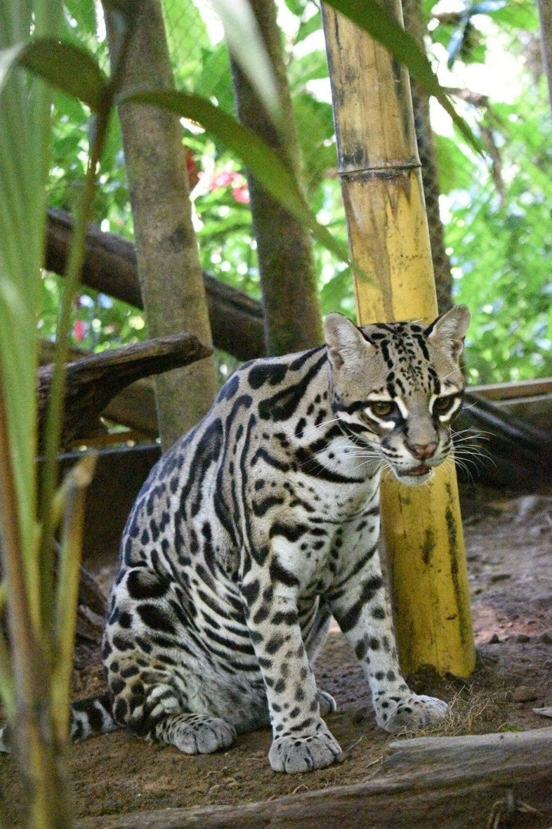 Ocelot seated, looking at camera