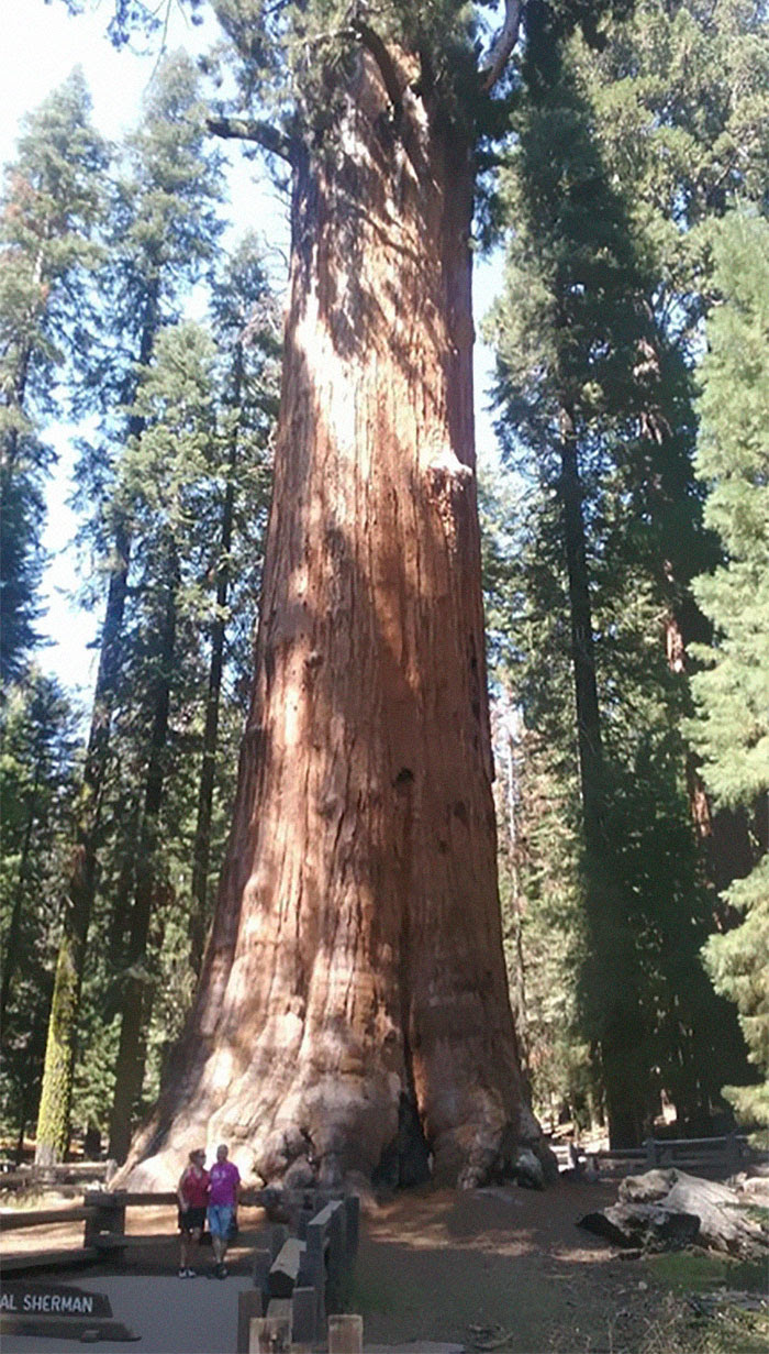 The Largest Tree In The World