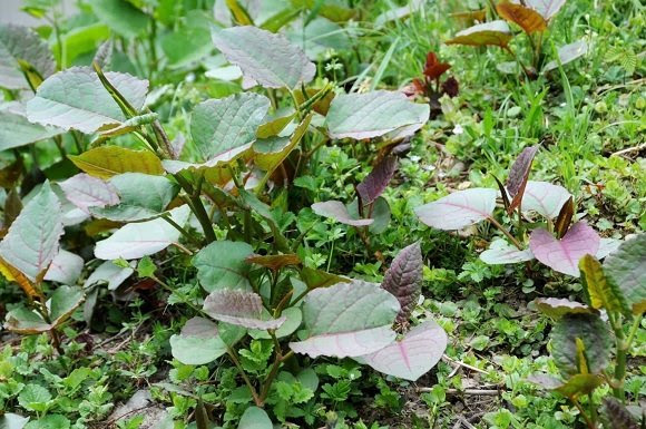 early knotweed patch