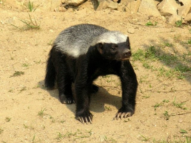 http://media.breitbart.com/media/2015/05/honey-badger-Mat%c4%9bj-Ba%c5%a5ha-640x480.jpg