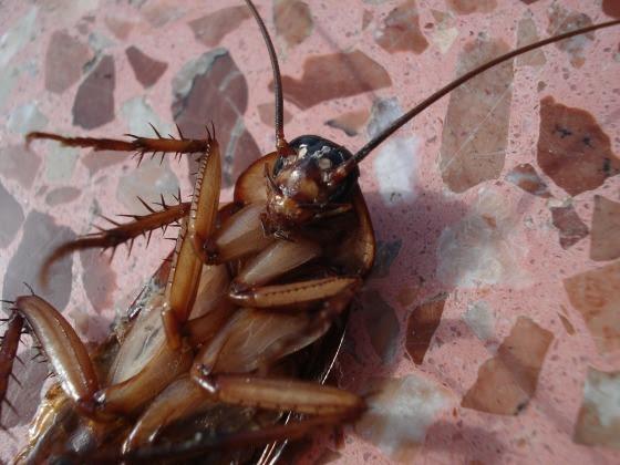 La cucaracha resiste la radiación nuclear pero no la radiación de un teléfono móvil