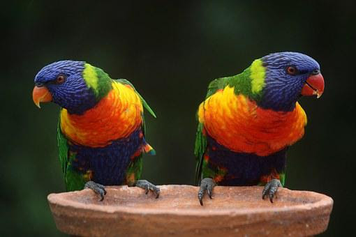 Rainbow Lorikeet, Parrots, Australia