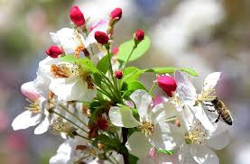 When apple trees blossom, worker bees rock
