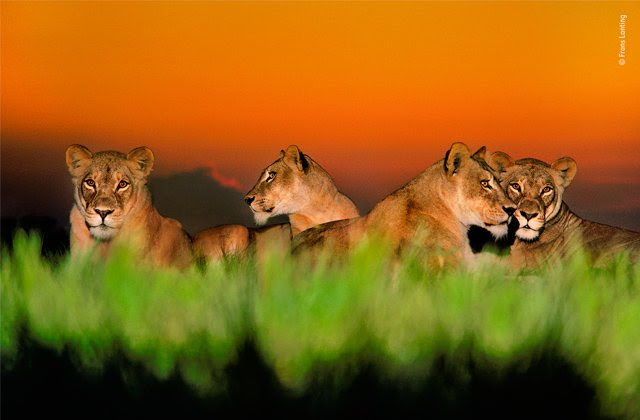 Lionesses at twilight © Frans Lanting