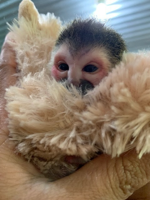 Baby squirrel monkey face wrapped in blanket