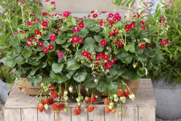 Berried Treasure Red strawberry plants