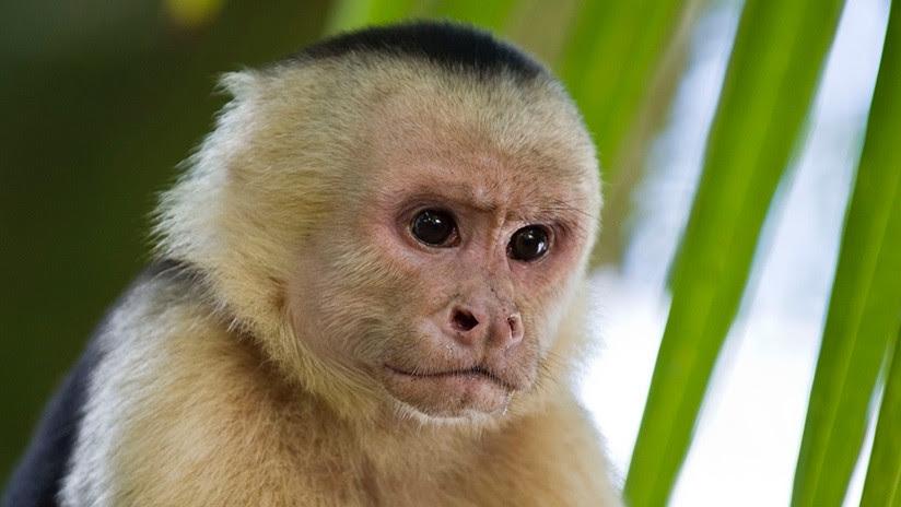 VIDEO: Monos panameños dan signos de haber iniciado su propia Edad de Piedra