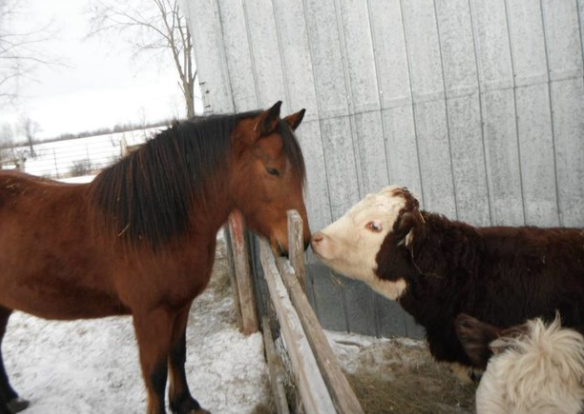 a horse and a cow booping noses in a wintery farm