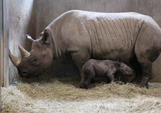 Filhote de rinoceronte imita mãe durante seu primeiro banho; assista!